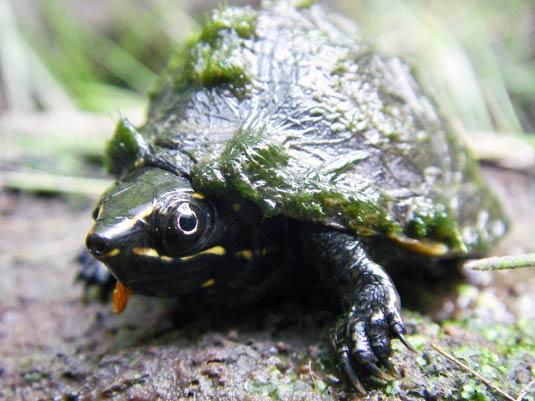 gewöhnliche moschusschildkröte kaufen